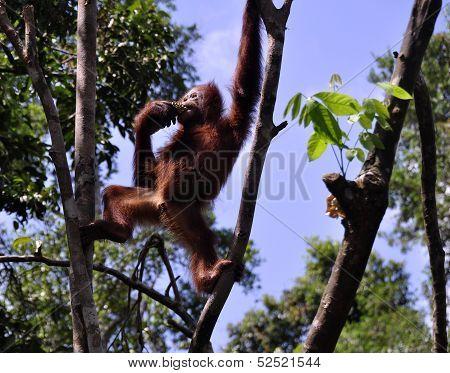 Wild orangutans at National Park