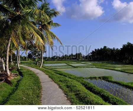 Dirt Road Path and Coconut Trees