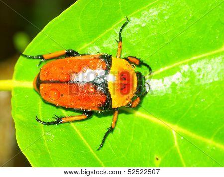 Flower Beetle Queensland Australia