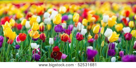 Tulips of all colors; focus in front