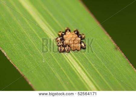 Stinkbug Larvae And Eggs On Green Leaf