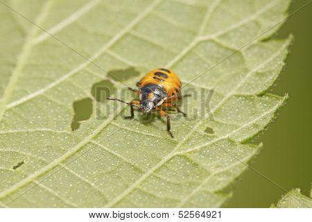 Stinkbug Larvae On Green Leaf