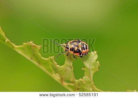 Stinkbug Nymphal On Green Leaf