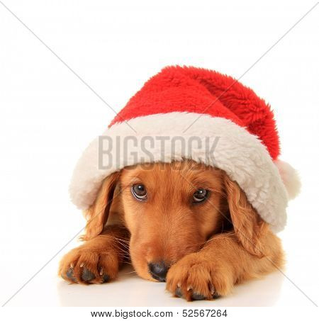 Christmas puppy wearing a Santa hat.