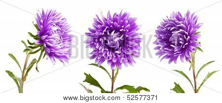 High Detail Purple Aster