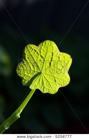 Green Leaf In The Sun