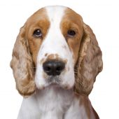 Isolated mug shot like portrait of spaniel . White copy space selective focus on the eyes. poster