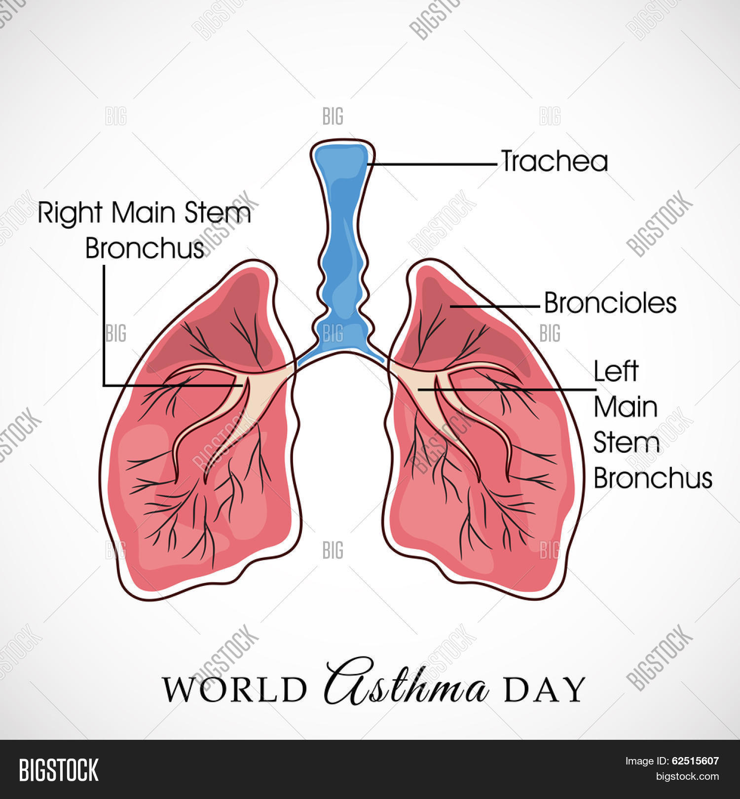 Human Lungs Diagram Vector Photo Free Trial Bigstock