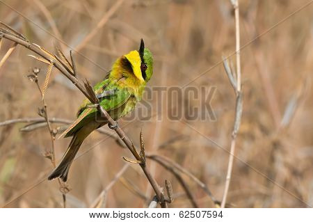 A Little-Bee Eater (Merops pusillus) with its head turned up poster