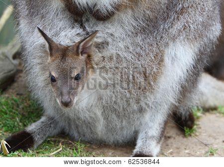 Wallaby Joey