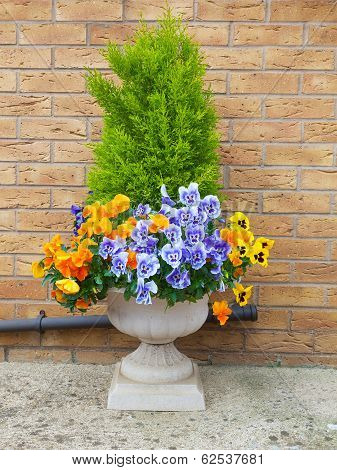 Winter and spring pansies and evergreen shrub in container