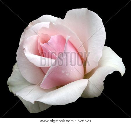 A Pink/White Rose (clipping Path)