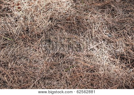 close-up picture of a heap of dried pine needles in brown colours poster
