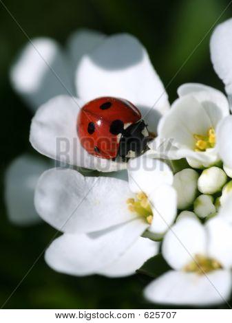 Summer Ladybird