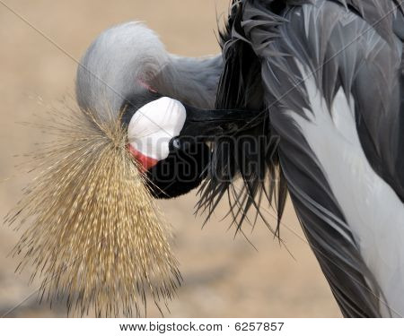 Crowned Crane cleans the feathers on the lake close-up. poster