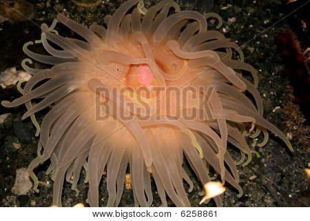 sea anemone- creature