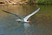 A Caspian Tern (Hydroprogne caspia) gliding low over fresh water ready to scoop up a drink poster