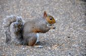 A lovely squirrel squatting on pebbled walkway in Kensington Garden,London poster