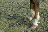 Close up of horse's two front feet poster
