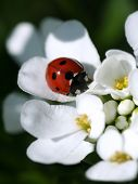 ladybird on white flowers poster