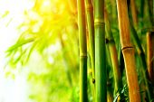 Bamboo. Bamboos Forest. Growing bamboo border design poster