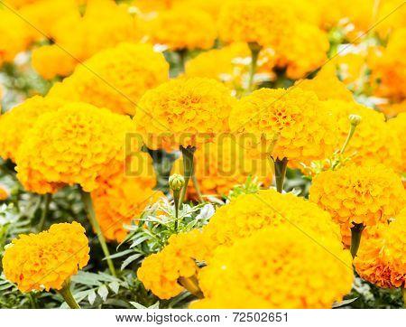 Marigold Flower In Sunlight