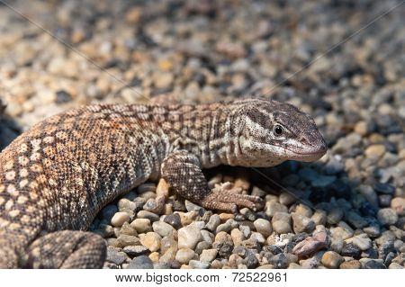 Ridge-tailed Monitor Lizard