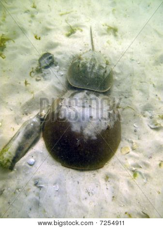 Horseshoe Crab Pair