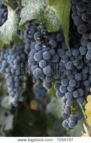 plump grapes on vine