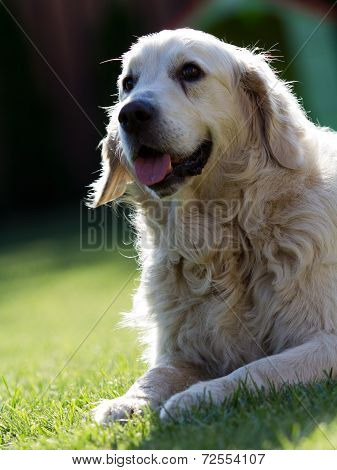 Dog sitting on lawn. Beautiful and cute fun golden retriever poster