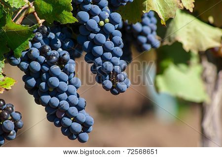 Malbec Grapes
