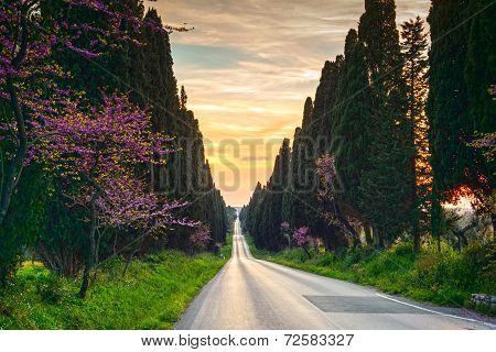 Bolgheri Famous Cypresses Tree Straight Boulevard On Sunset. Maremma, Tuscany, Italy
