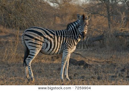 A Burchell's Zebra greets the morning in the African bush. poster
