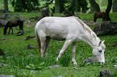White horse grazing in a forest in the Himalayas. poster