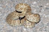 Mojave Rattlesnake (Crotalus scutulatus) coiled to strike. The Mojave Rattlesnake is considered by many to be the most deadly snake in the United States. poster