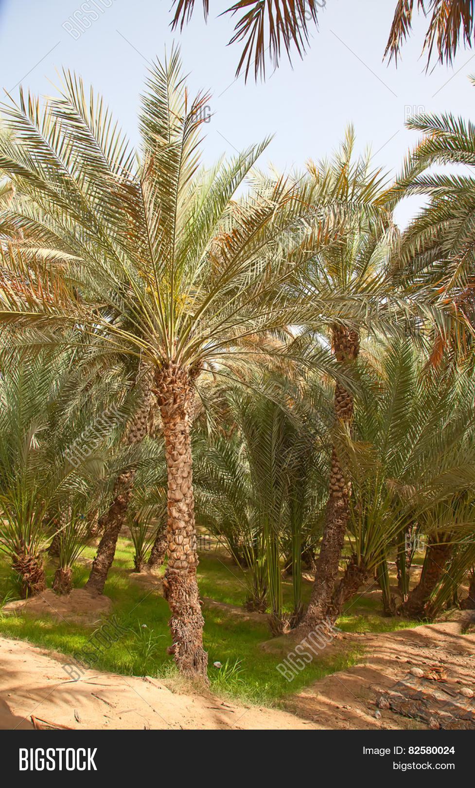 Palm Garden Riyadh Image & Photo (Free Trial)   Bigstock