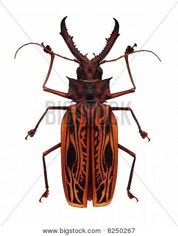 Big orange and black horned beetle