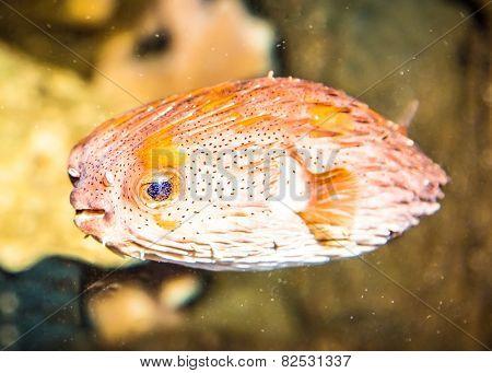 Thornback boxfish (tetrasomus gibbosus) in marine aquarium, Australia.
