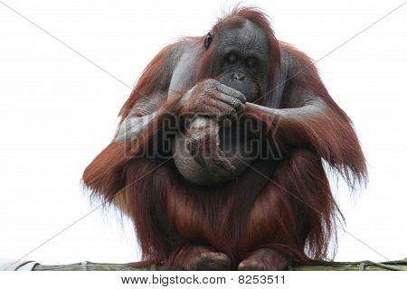 'Bornean Orangutang'