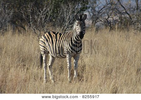 Zebra in South-Africa