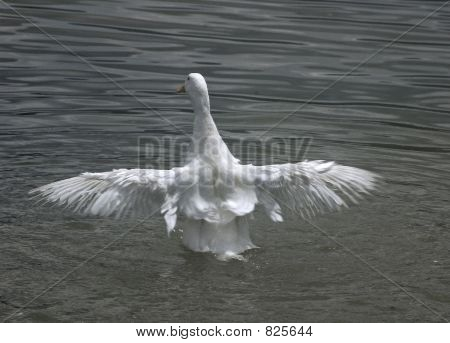 Duck with open wings