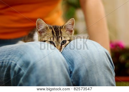 Kitten lays on the blue jeans of someone's lap