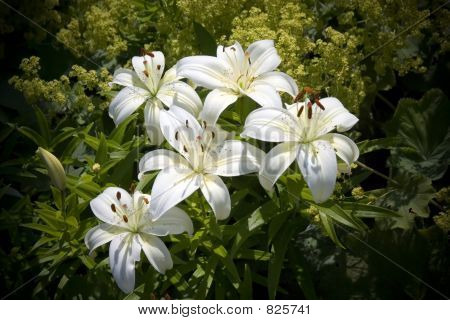 Easter Lily's
