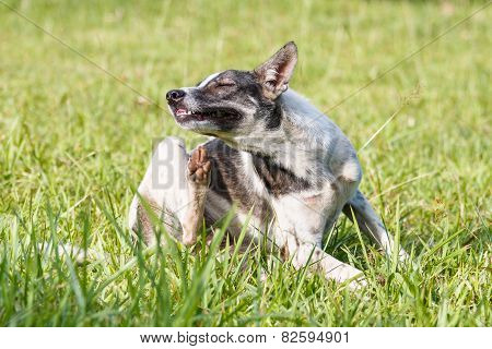 Thai domestic dog scratching its face on green grass in the garden poster