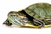 Red-eared Slider (Trachemys scripta elegans) over the white background poster