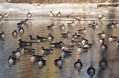 A group of geese fill this pond in winter time. poster