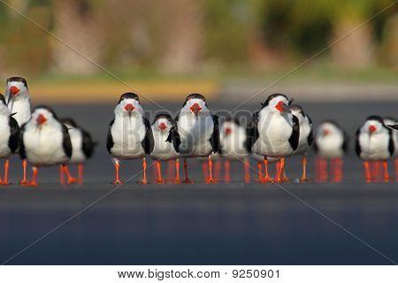 Flock Of Black Skimmers