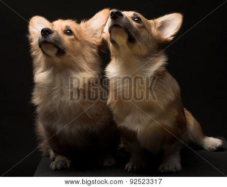 A portrait of a Welsh Pembroke Corgi. Two puppies. poster