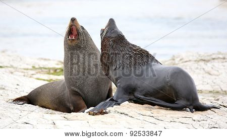 New Zealand Fur Seal (Arctocephalus forsteri) near Kaikoura (New Zealand)