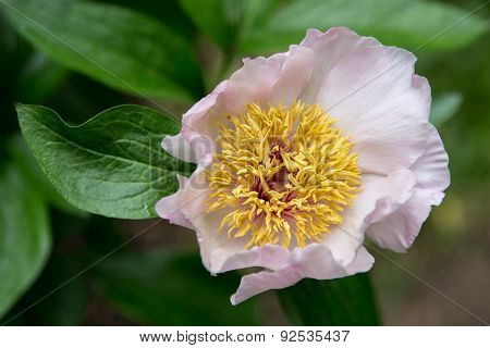 Widely opened flower of peony after the rain